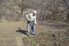 O homem idoso limpa as folhas secas do ancinho Foto de Stock Royalty Free