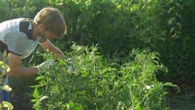 O homem importa-se e limpa-se o tomate do arbusto Verifica a qualidade das plantas filme