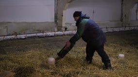 O homem libera patinhos em uma exploração agrícola video estoque