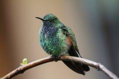 O homem Listra-atou o eximia de Eupherusa do colibri imagem de stock
