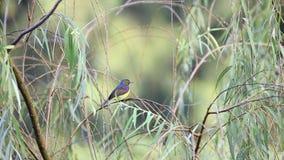 O homem marrom-throated minúsculo do sunbird que empoleira-se e que canta na árvore de salgueiro video estoque