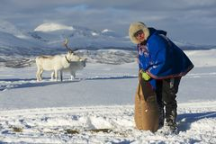 O homem não identificado de Saami traz o alimento às renas no inverno profundo da neve, Tromso, Noruega Imagem de Stock