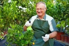 O homem sênior feliz importa-se com plantas na estufa Fotos de Stock