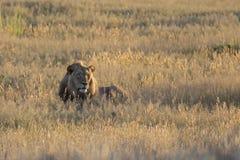 O homem solitário do leão estabelece para descansar na grama de Kalahari Fotografia de Stock Royalty Free