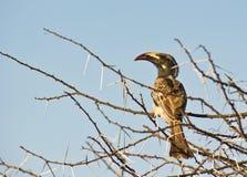 O Hornbill do cinza africano Fotos de Stock