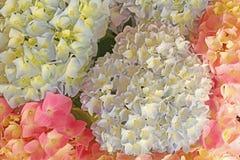 O Hortensia coloriu ascendente próximo das flores Fotos de Stock Royalty Free
