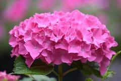 O Hortensia cor-de-rosa é meu jardim imagem de stock royalty free