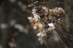 O hortensia secado bonito da hortênsia floresce a cruz processada para Foto de Stock