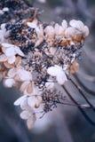 O hortensia secado bonito da hortênsia floresce a cruz processada para Fotos de Stock Royalty Free