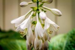 O Hosta de florescência floresce o lancifolia do Hosta Fotografia de Stock