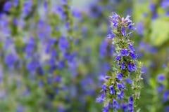 O Hyssop floresce no jardim de erva, fundo borrado fotografia de stock