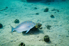 O imperador Spangled peixes está sob a água imagens de stock royalty free