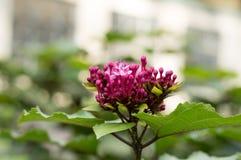 O incarnata do Asclepias do Milkweed de pântano floresce o close up foto de stock