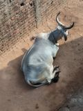 O indiano crocita PIC Foto de Stock