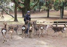 O indivíduo alimenta os cervos no parque Imagens de Stock