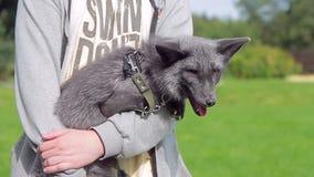 O indivíduo está guardando uma raposa preta doméstica em uma trela no verão vídeos de arquivo