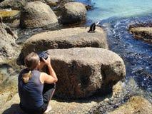 O indivíduo faz uma foto do pinguim do cabo imagens de stock royalty free