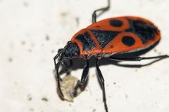 O inseto é vermelho, com testes padrões em sua parte traseira sob a forma dos triângulos e dos círculos Macro Fotografia de Stock Royalty Free