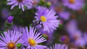 O inseto poliniza as flores lilás video estoque