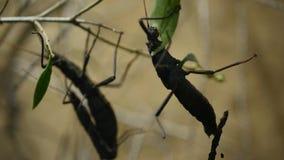 O inseto tropical no arbusto come a folha grean video estoque
