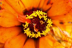 O interior de uma flor alaranjada fotos de stock