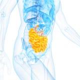 o intestino delgado Imagem de Stock
