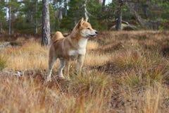 O inu bonito do shiba livra em cores do outono Fotografia de Stock