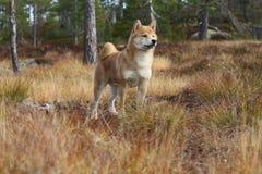 O inu bonito do shiba livra em cores do outono Imagens de Stock Royalty Free