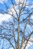 O inverno desencapado da árvore do Platanus ramifica contra um céu nebuloso azul foto de stock royalty free