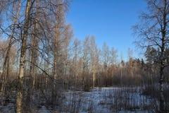 O inverno do vidoeiro das árvores fora neva Forest Outdoors Sky fotos de stock