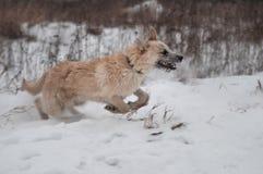 O inverno dos jogos running do cão anda no parque fotografia de stock royalty free