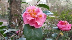 O inverno floresce flores da camélia Fotografia de Stock Royalty Free