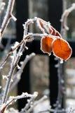 O inverno levantou-se Fotos de Stock Royalty Free