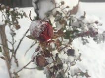 O inverno levantou-se Imagens de Stock