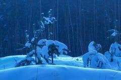 O inverno que nivela árvores novas cobriu a neve na perspectiva dos pinhos misteriosos altos Imagem de Stock