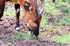 O isaaci do eurycerus do Tragelaphus dos bongos come a grama em uma manhã ensolarada da mola fotografia de stock