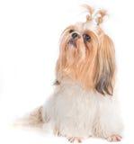 O isolamento do cão do qui-Tzu com fundo branco Imagem de Stock