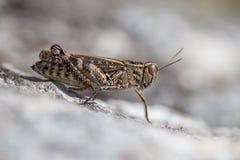 O italicus italiano de Calliptamus dos locustídeo em República Checa fotos de stock royalty free
