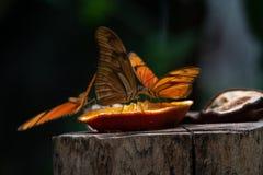 O iulia do Dryas chamou geralmente a borboleta de Julia foto de stock royalty free