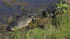 O jacaré da mãe com seus bebês aproxima o lago filme
