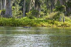 O jacaré que descansa em Wakulla salta parque estadual Fotos de Stock Royalty Free