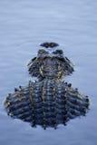 O jacaré submergeu parcialmente o parque nacional florida EUA do estado dos marismas Fotografia de Stock Royalty Free