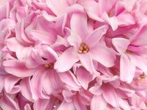 O jacinto perfumado cor-de-rosa delicado da prímula da mola floresce o backgrou Fotografia de Stock