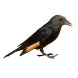 O jackdaw amarelo preto pequeno do pássaro come o pão em seu fim do bico acima Fotos de Stock Royalty Free