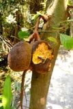 O jackfruit é comido por roedores Foto de Stock