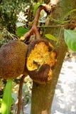 O jackfruit é comido por roedores Imagem de Stock