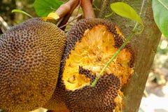 O jackfruit é comido por roedores Fotos de Stock Royalty Free