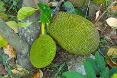 O Jackfruit estava na terra no jardim Fotografia de Stock