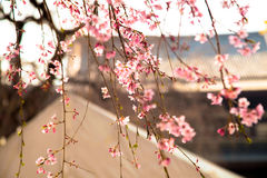 O japonês floresce sakura na árvore com o templo de Zojoji perto da torre do Tóquio o 30 de março de 2017 Fotos de Stock