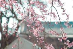 O japonês floresce sakura na árvore com o templo de Zojoji perto da torre do Tóquio o 30 de março de 2017 Imagem de Stock Royalty Free